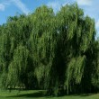 Stock Photo: Weeping willow tree with blue sky