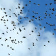 Large flock of starling birds — Stock Photo #2040331