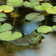 Green bullfrog in a pond with lillypads — Stock Photo #2040340