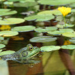 Green bullfrog in a pond with lillypads — Stock Photo