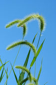 Giant Foxtail weeds against a blue sky — Stock Photo