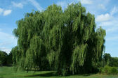 Weeping willow tree with blue sky — Stock Photo