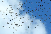 Large flock of starling birds — Stock Photo