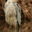 Juvenile blue heron — Stock Photo