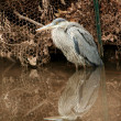 Stock Photo: Juvenile blue heron