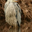 Juvenile blue heron — Photo