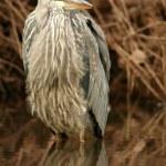 Juvenile blue heron — Stock Photo #2059716