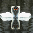 Two White swans swimming in a lake — Stock Photo