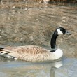 Canadian goose swimming ina stream - Stock Photo