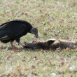 Black Vulture eating a deer carcass — Stock Photo