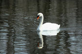 White swan swimming in a lake — Stock Photo