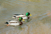 Two male mallard ducks swimming — Stock Photo