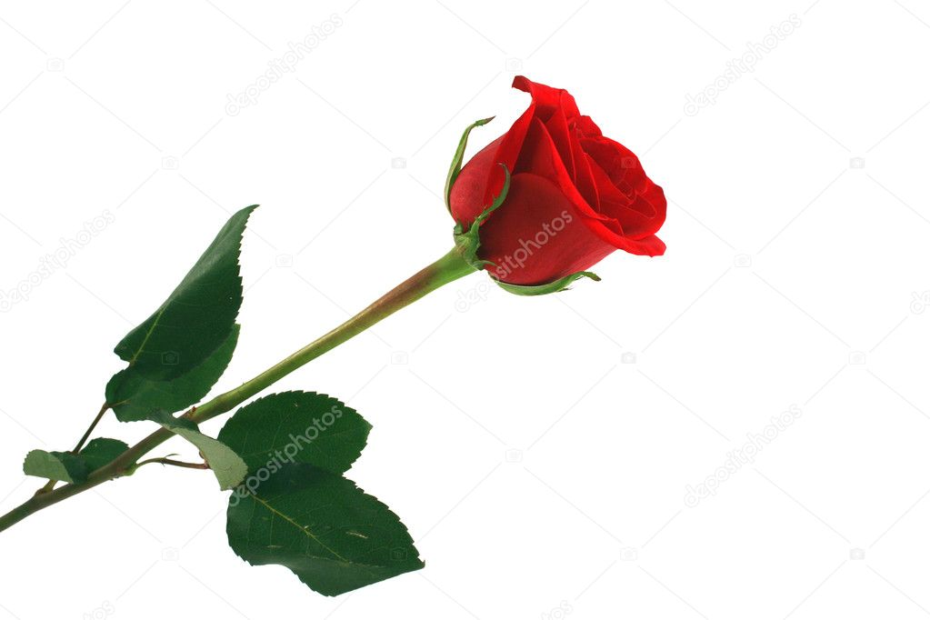 A Isolated red rose on white background — Photo #2060122