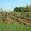 Rows of Grapes — Stock Photo #2081650