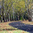 Path lined with Sycamore Trees — Stock Photo