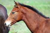 Brown Colt horse — Stock Photo