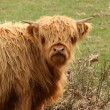 Highland cow in a field — Stock Photo
