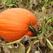 Pumpkin in the field — Stock Photo