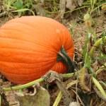Pumpkin in the field — Stock Photo
