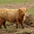 Highland cow in a field — Stock Photo #2102260