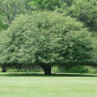 Rounded Tree — Stock Photo