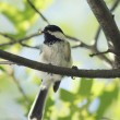 Black-capped Chickadee — Stock Photo #2106740