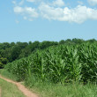 Dirt Road and Cornfield — Stock Photo