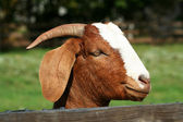 Billy goat — Stock Photo