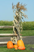 Pumkins and corn stalks — Stock Photo