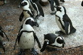 Penguins — Photo
