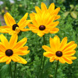 Black eyed susan flowers — Stock Photo
