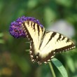 Eastern Tiger Swallowtail butterfly — Stock Photo #2121077