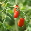 Stock Photo: Red Tomatoes on the vine