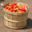 Freshly picked tomatoes — Stock Photo