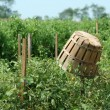 Stock Photo: Tomatoe baskets in field