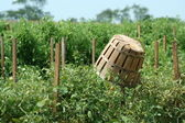 Tomatoe baskets in the field — Stock Photo
