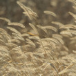 Stock Photo: Foxtail weeds in autumn