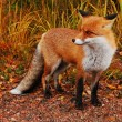 Wild red fox — Foto Stock