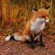Wild fox — Stock Photo #2405336