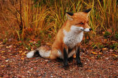 Wild fox — Stock Photo