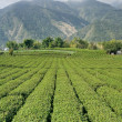 Field of tea — Stock Photo