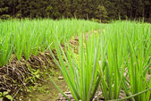 Farm of spring onion — Stock Photo