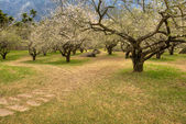 Garden with plum blossom — Stock Photo