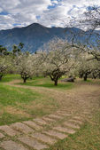 Plum blossom path — Stock Photo