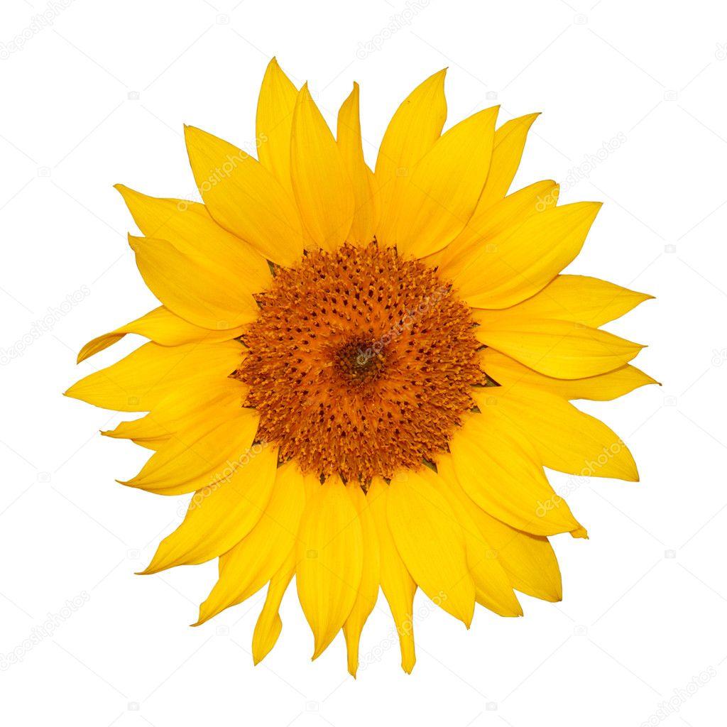 sunflower black singles Sunflower wallpapers - sunflower desktop wallpapers - 1195 1920x1080 and 1920x1200 wallpapers.