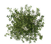 Thyme isolated on white — Stock Photo