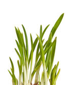Bunch of green onions isolated — Stock Photo