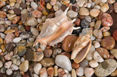 Shells on sea pebbles — Stock Photo