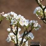 Apple tree blossom — Stock Photo #2018088