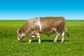 Big bull cow — Stock Photo